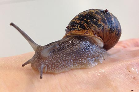 Snail mucus: antimicrobial properties found